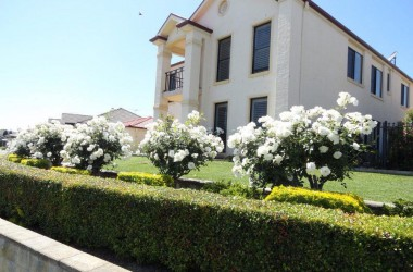 white roses grows beautifully in east maitland