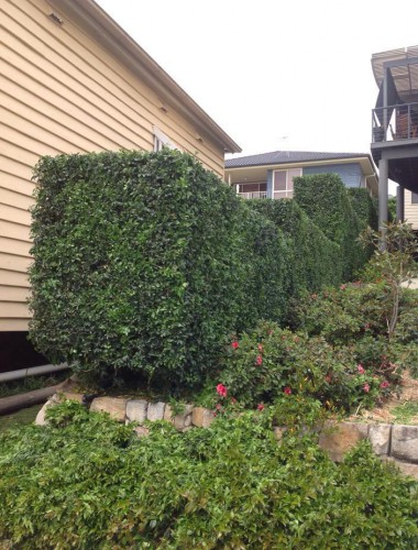 Jane's Murraya hedges in New Lambton need regular trimming to keep them looking like this. They now look like a large green garden wall that sets off the rest of the property