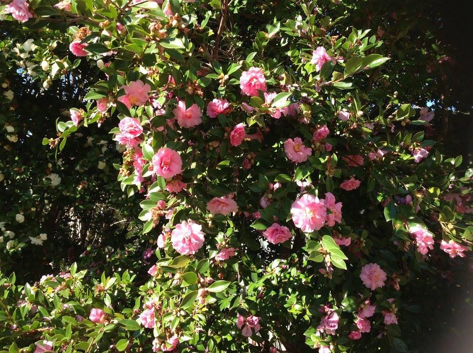 very nice pink flowers