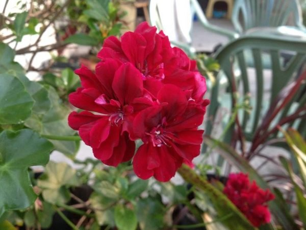 red geranium blooms