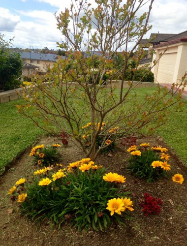 crepe myrtle and gazania