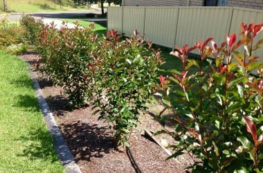 Peter!s Photinia hedge was planted by HOLTS and the results speak for themselves. The variety, spacing of plants and light tip pruning will result in a perfect bushy hedge