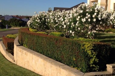 These gardens in East Maitland require rose maintenance, hedge trimming, weed control and lawn maintenance. The results of regular garden maintenance over several years have made this the loveliest looking property in a fairly prestigious street
