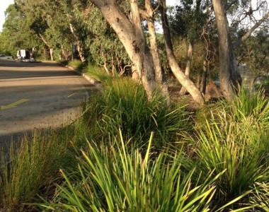 lomandra hystrix & longifolia