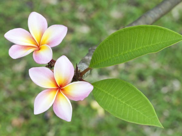close up of frangipani flower