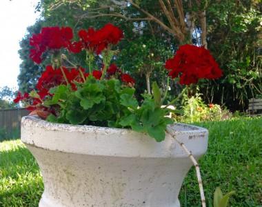 geranium nig red