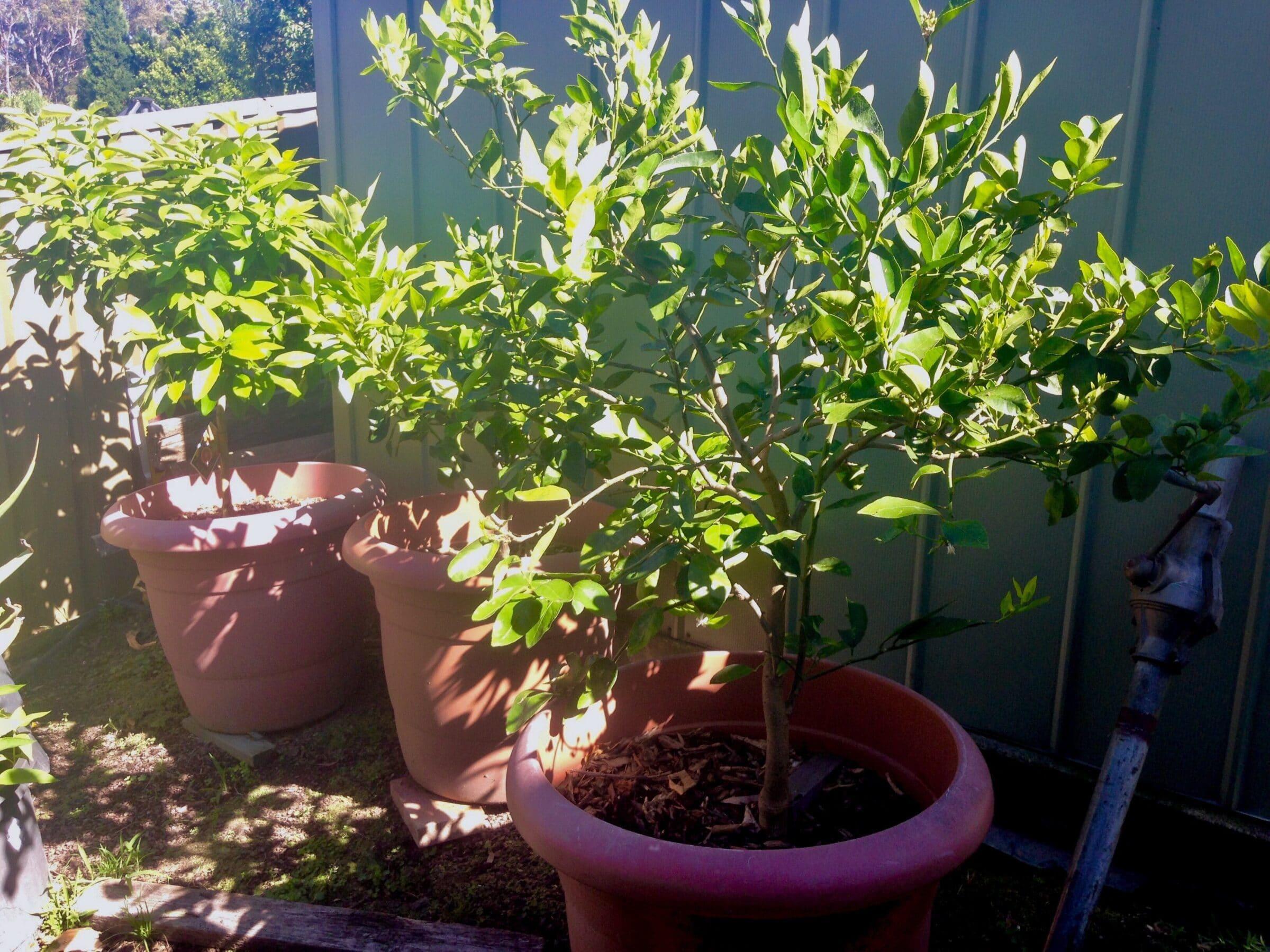 Lemon tree care -